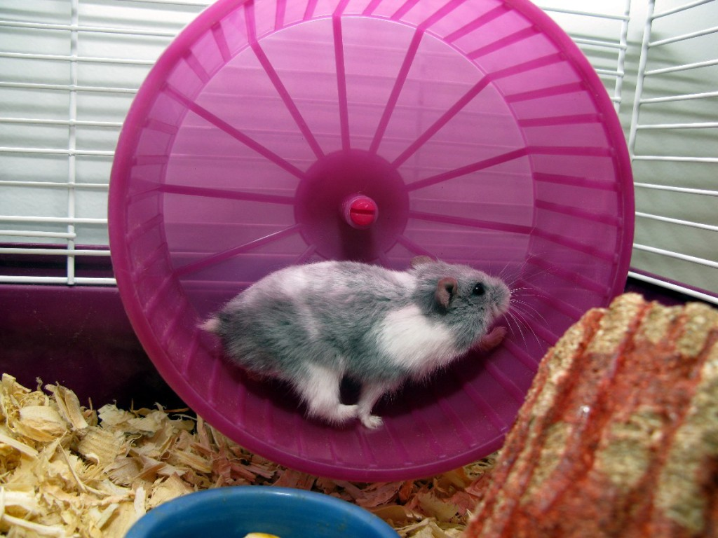 rat race, success, hamster
